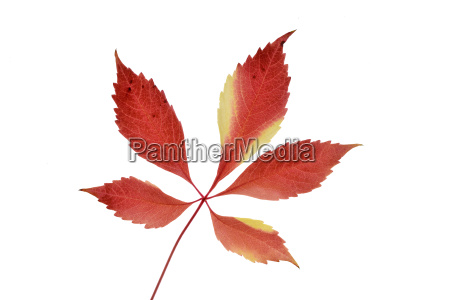 autumn, leaf, of, virginia, creeper, in - 18003916