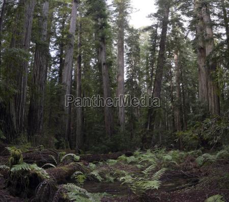 usa california redwood national park redwood