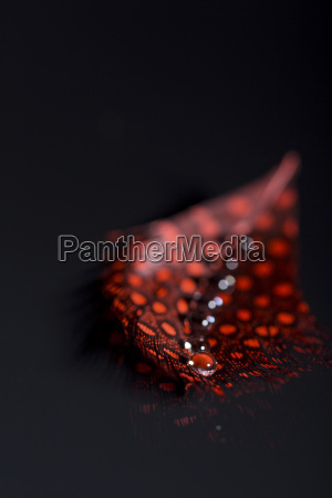 red feather and water drops close
