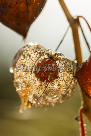 chinese lantern in autumn close up