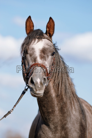 portrait of a sports thoroughbred horse