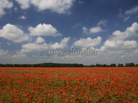 red poppy field near munich bavaria