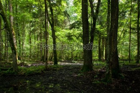 wet deciduous stand of bialowieza forest