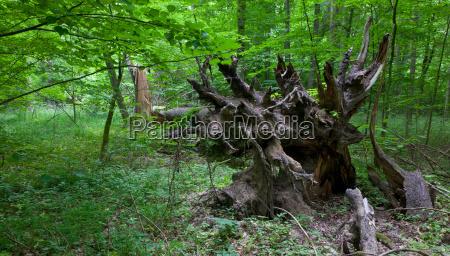 broken spruce tree roots in summer