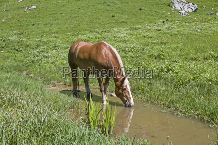 haflinger horse in the creek