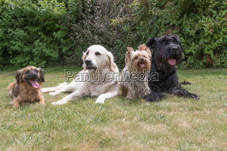 four dogs are lying on the