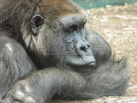 lowland gorilla hellabrunn munich bavaria germany