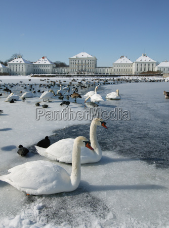 view of swans and nymphenburg castle