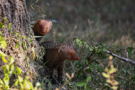 hunter hunt predator mongoose