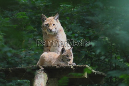 lynx with offspring