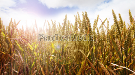 golden cornfield on a summer day