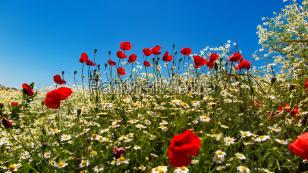 poppies at the edge of a