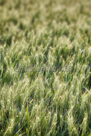 field of wheat perspective