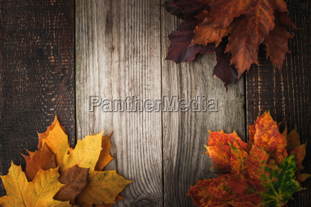 colorful autumnal maple leaves on the