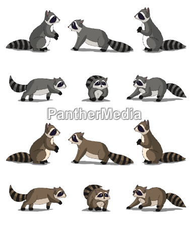 raccoon isolated on white background
