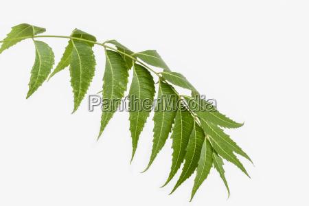 neem margosa leaves