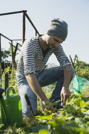 gardener working on vegetable patch