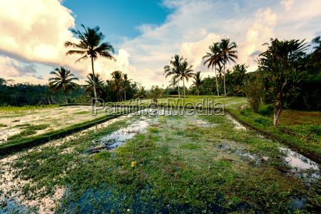 rice terraced paddy fields in gunung
