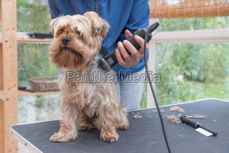 grooming yorkshire terrier dog by razor
