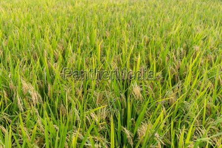 planting paddy rice filed