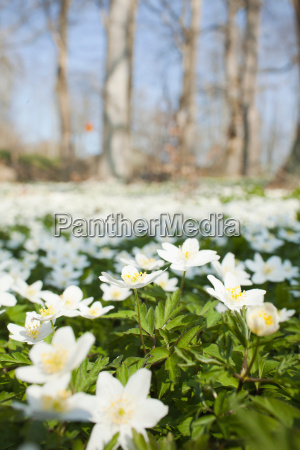 field of white flowers
