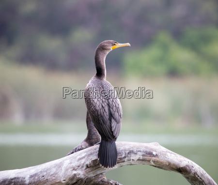 double crested cormorant phalacrocorax auritus