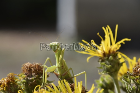 the female mantis religios predatory insects