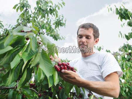 man picking cherries from tree