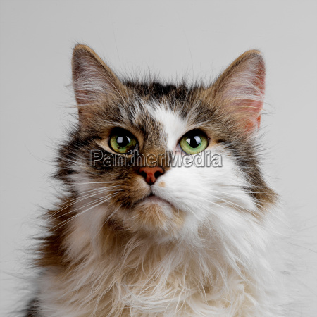 tabby and white fluffy cat