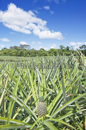 pineapple plantation costa rica central america