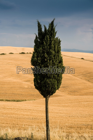 lone cypress tree in tuscan landscape