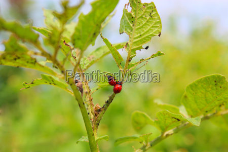 larvas of colorado beetles on the