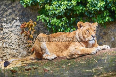 wild lioness lies on a tree