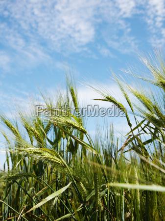 close up of barley stalks in