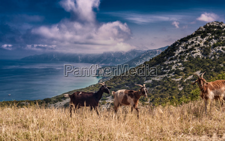 goats on hill with sea in