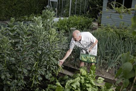 senior man selecting vegetables for harvest