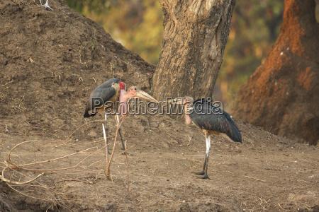 two marabou storks leptoptilos crumeniferus arguing