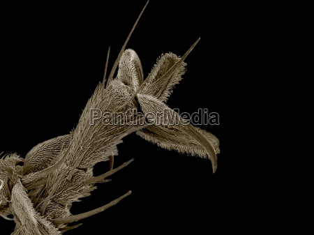 tarsus of robber fly asilidae sem