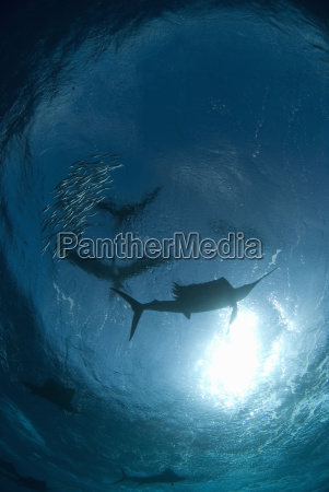 silhouetted atlantic sailfish istiophorus albicans gather