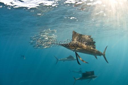 atlantic sailfish istiophorus albicans gather around