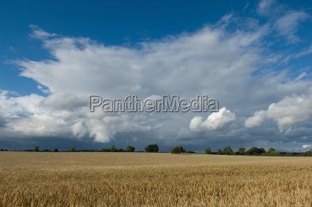 field of barley in stormy skies
