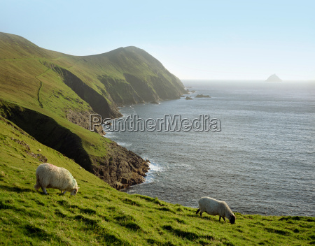 sheep grazing on rural hillside