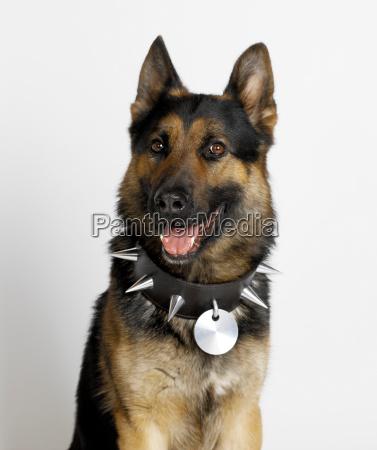 german shepherd with spike stud collar