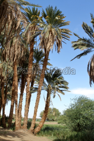palm trees on the nile in