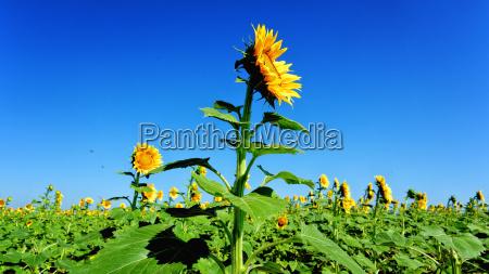 blue sky and sunlit sunflower field