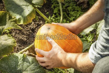 mature man picking pumpkin focus on