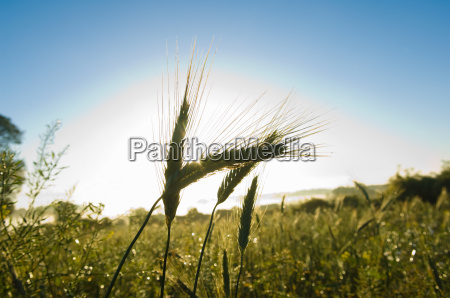 close up of ears of wheat