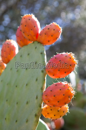 close of prickly pear mallorca spain