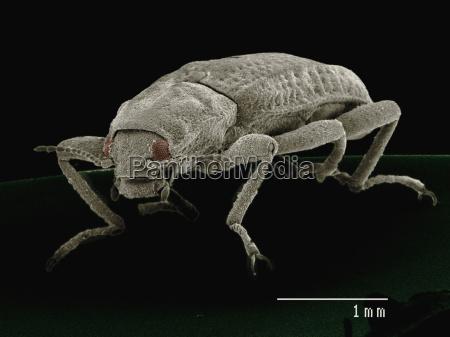 coloured sem of riffle beetle elmidae