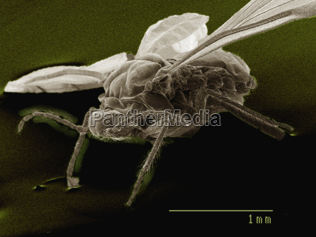 coloured sem of winged adult aphid